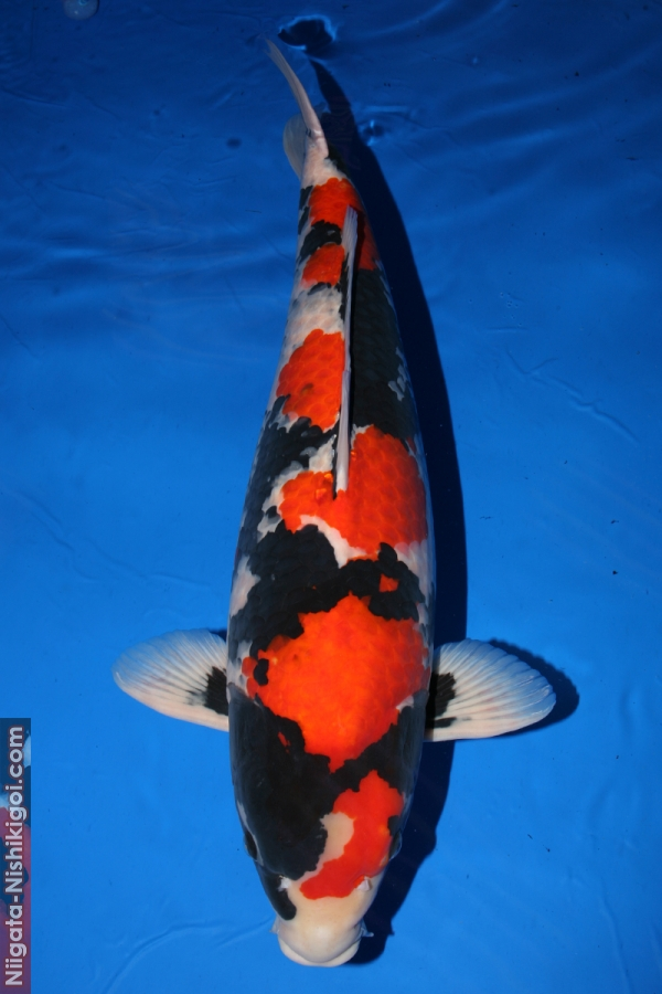 11 year All Japan Koi Show