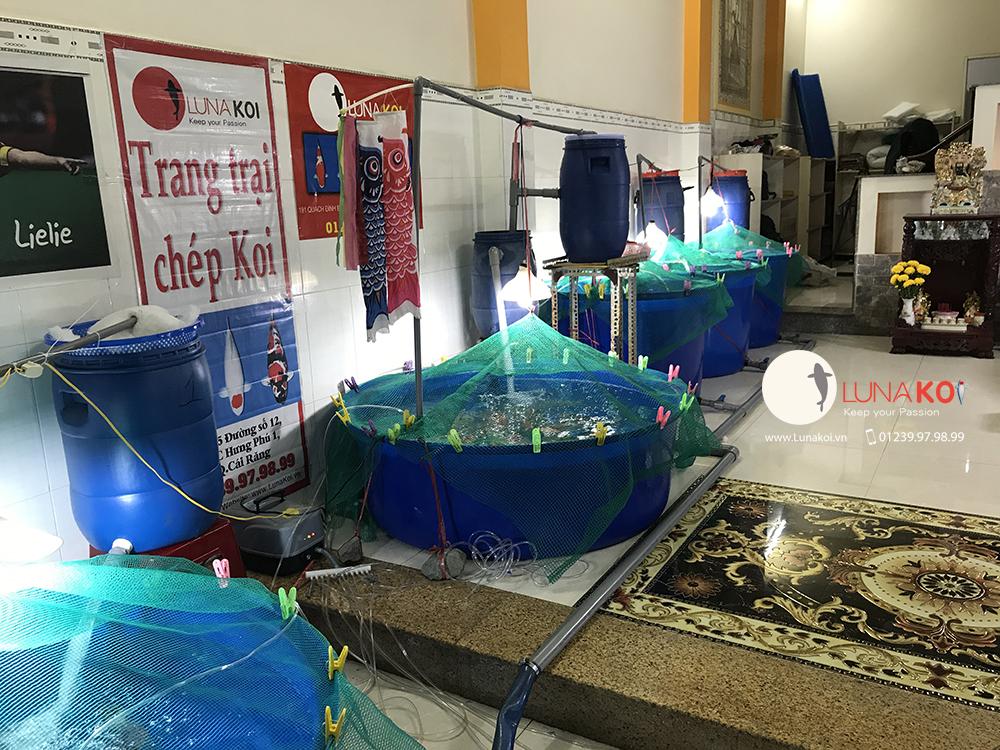 Khai trương chi nhánh bán cá chép Koi - Luna Koi Sài Gòn - 1