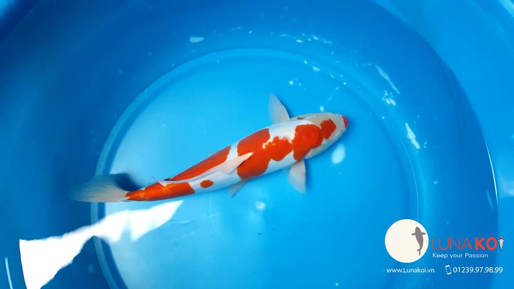 Ngạc nhiên với chất lượng lô cá Koi F1 Việt Nam - 9