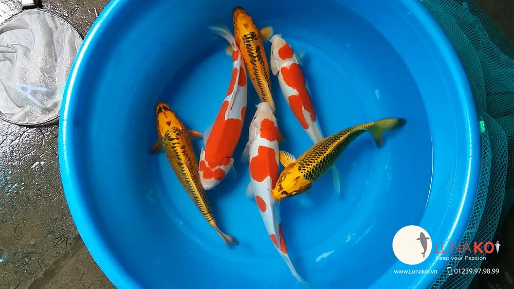 Ngạc nhiên với chất lượng lô cá Koi F1 Việt Nam - 3