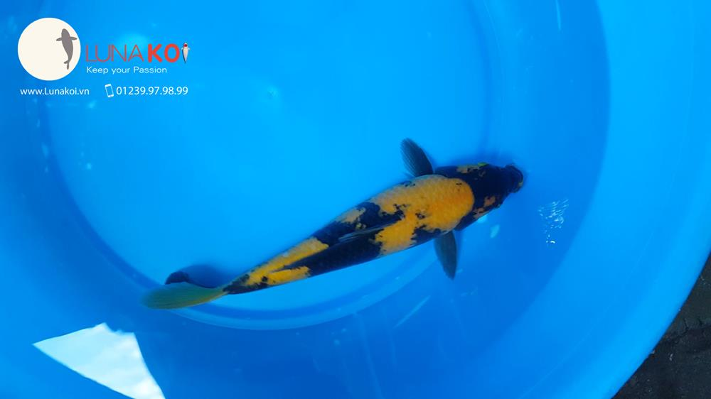 Ngạc nhiên với chất lượng lô cá Koi F1 Việt Nam - 14