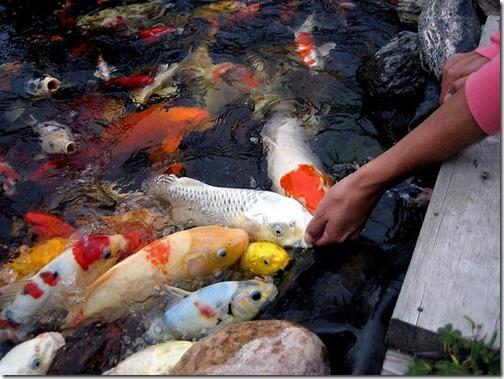 cho cá ăn trên tay