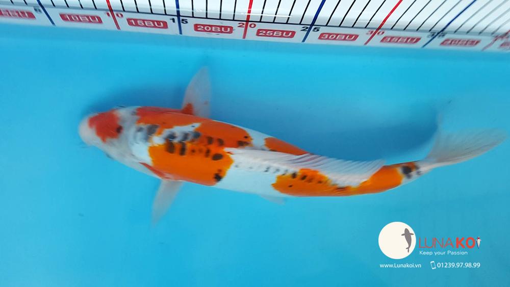 Khai trương chi nhánh bán cá chép Koi - Luna Koi Sài Gòn - 7
