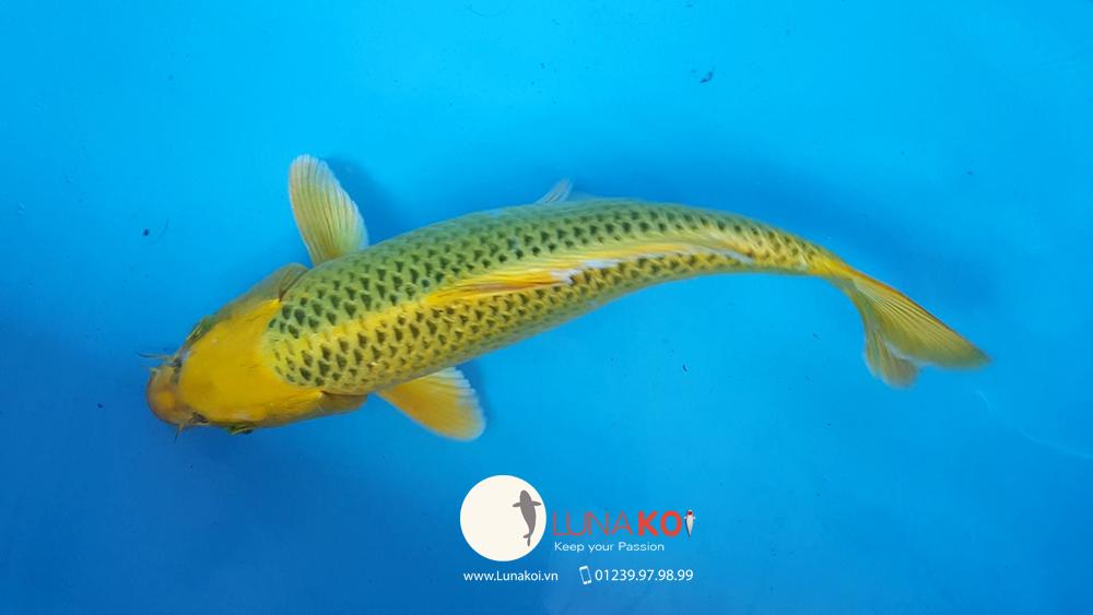 Khai trương chi nhánh bán cá chép Koi - Luna Koi Sài Gòn - 11