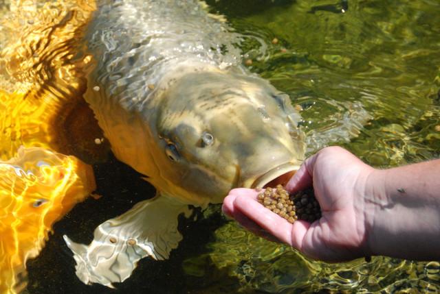 huấn luyện cá Koi ăn trên tay