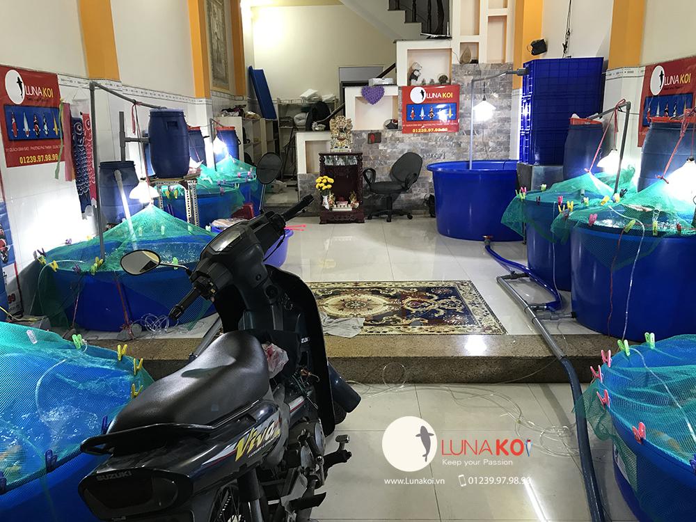 Khai trương chi nhánh bán cá chép Koi - Luna Koi Sài Gòn