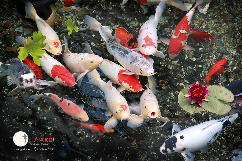 B s u t p h nh nh c koi p ch t l ng cao for Koi supplies