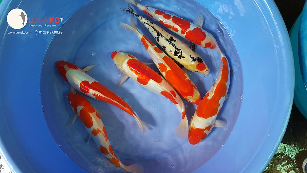 Ngạc nhiên với chất lượng lô cá Koi F1 Việt Nam