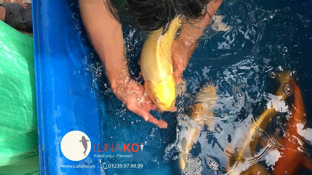 Luna Koi Farm - Hơn 1000 em Koi F1 Luna Koi Farm được thu hoạch phục v - 12