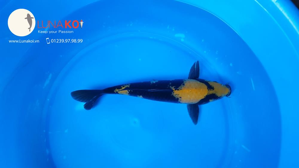 Ngạc nhiên với chất lượng lô cá Koi F1 Việt Nam - 19