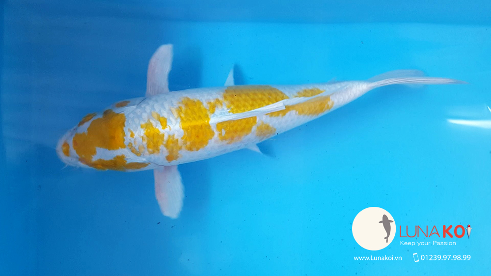 Khai trương chi nhánh bán cá chép Koi - Luna Koi Sài Gòn - 12