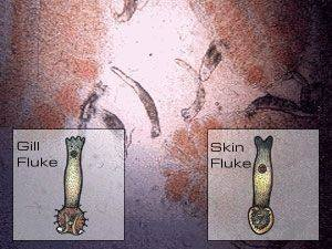 bệnh cá koi skin and gill flukes