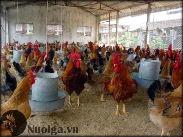 cách làm chuồng nuôi gà