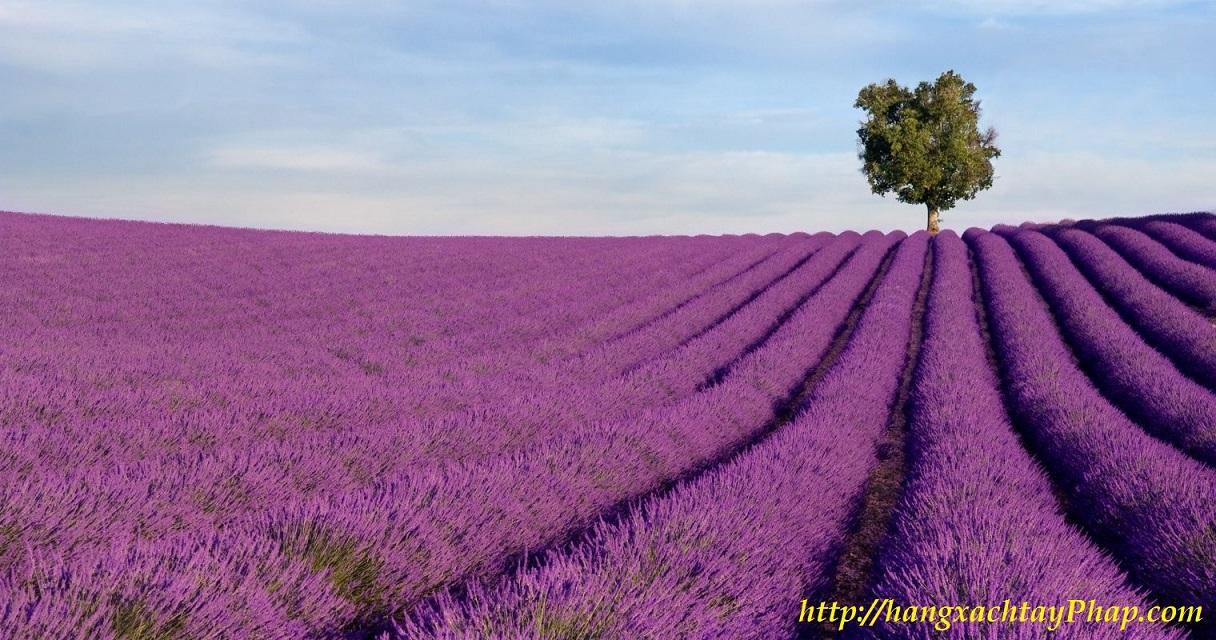 Hoa Oải Hương - Lavender khô   Hà Pháp Boutique