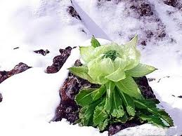 Tuyết liên hoa