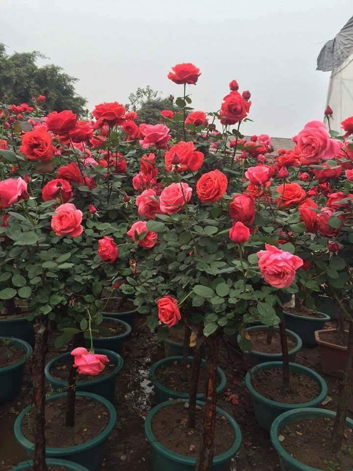 Đăng tin rao vặt: Hồng thân gỗ - loài hoa làm say đắm lòng người Received-288524591526686