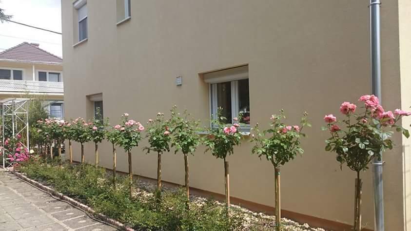 Đăng tin rao vặt: Hồng thân gỗ - loài hoa làm say đắm lòng người Tree-thaatj-dayx