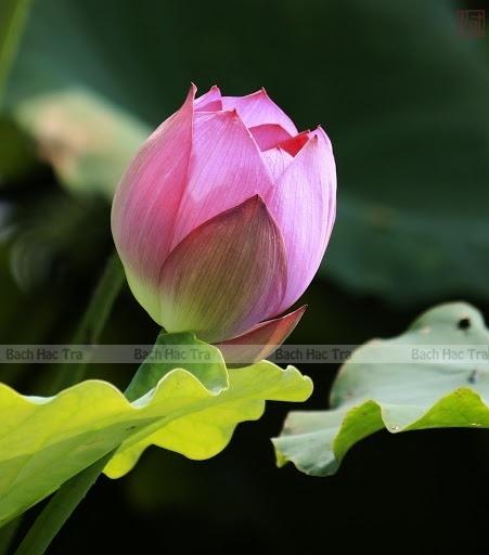 Trà ướp hoa sen