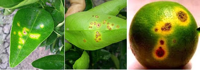 Bệnh hại cây có múi: bệnh ghẻ sẹo, bệnh loét cam, bệnh ...