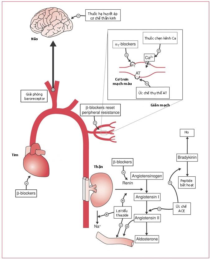 Cơ chế tác dụng của thuốc hạ huyết áp