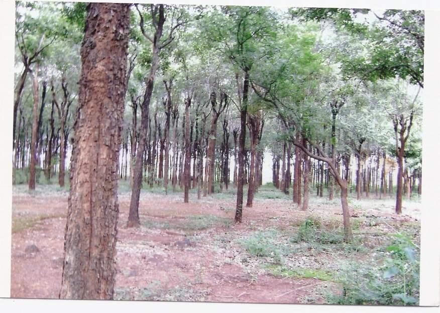 http://i01.i.aliimg.com/photo/v0/100789547/Red_Sandal_Wood_Trees.jpg