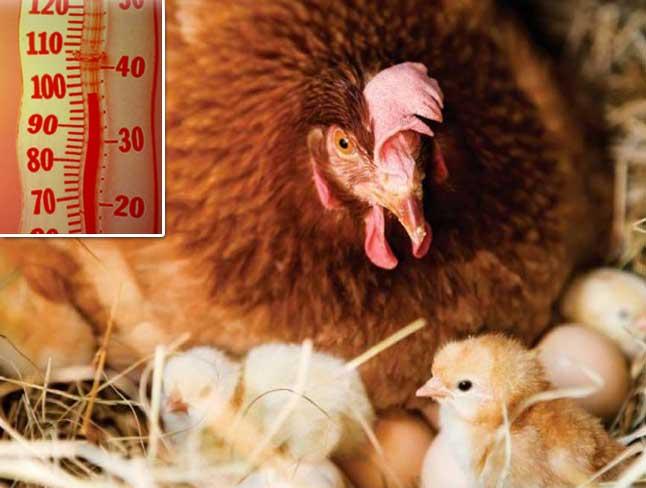 Làm gì để ấp trứng mùa nóng nở vẫn tốt?