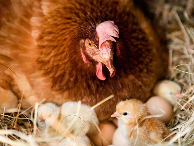 Kết quả hình ảnh cho gà ấp