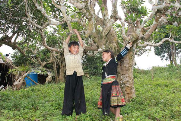 cây chè shan tuyết với văn hóa con người