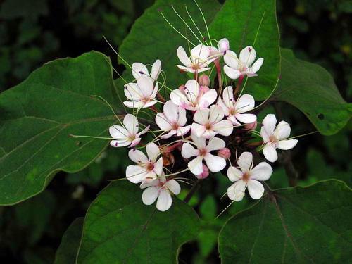 Chăm sóc sức khoẻ: Tác dụng của cây bạch đồng nữ Cay-thuoc-chua-benh-kho-noi-o-chi-em-1