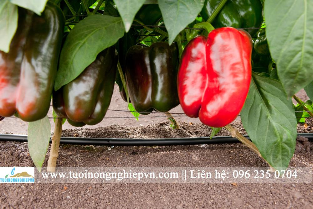 tưới nhỏ giọt cây ớt