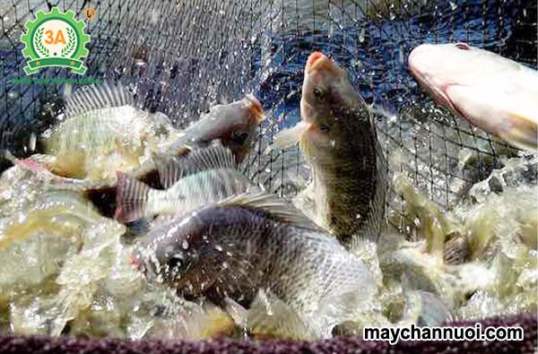 nuôi cá rô phi trong ao đất