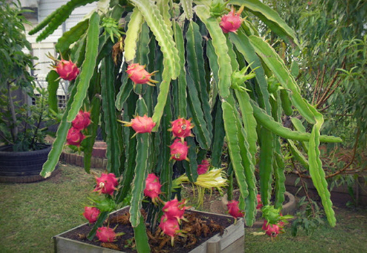 giống cây thanh long trồng trong chậu