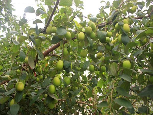 Kết quả hình ảnh cho táo chua