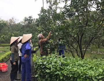 Pictures album of treating leaf yellowing in pomelo garden of the Ho Chi Minh Mausoleum