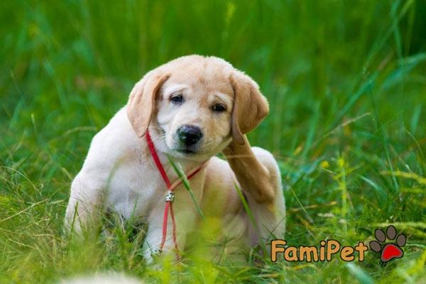 Sữa tắm cho chó bị ghẻ nào có hiệu quả vượt trội?
