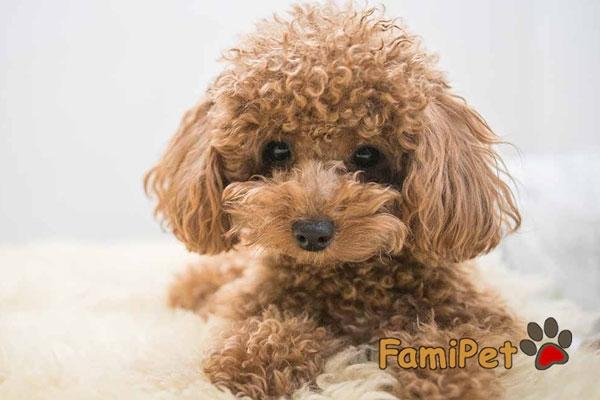 Sữa tắm cho chó Poodle nâu: Hiếm có khó tìm?!