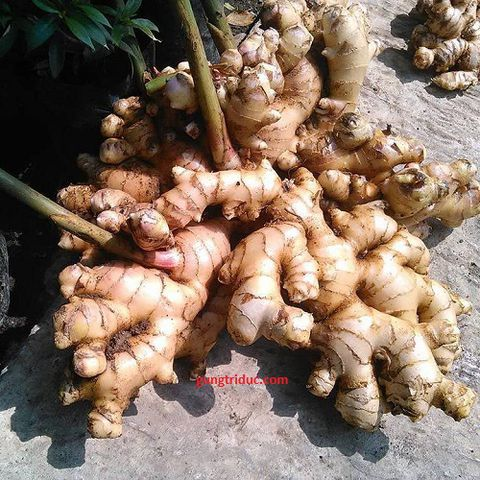Thin ginger (paris ginger)