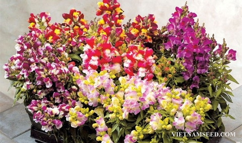ANT310 : Floral Showers Bicolor Mix