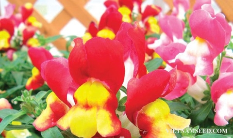 ANT313 : Floral Showers Red & Yellow Bicolor