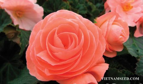 BEG165 : Fortune Salmon Rose