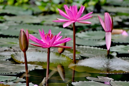 Water Lily (Hoa Sung)
