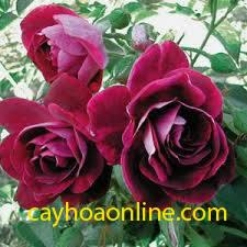 Tree rose burgundy iceberd