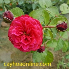 Tree rose red leonado de vincy