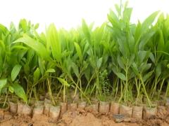 Giống keo lai cấy mô để trồng rừng gỗ lớn