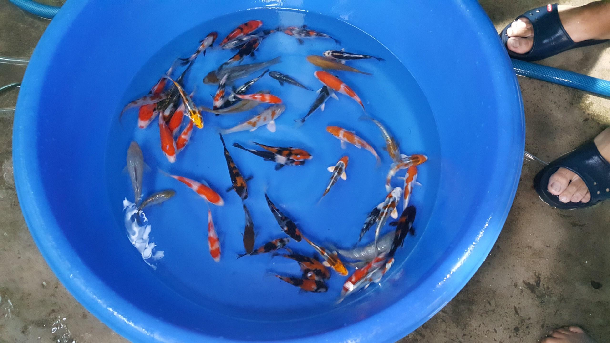 Cá Koi Nhật nhập khẩu Mini tosai