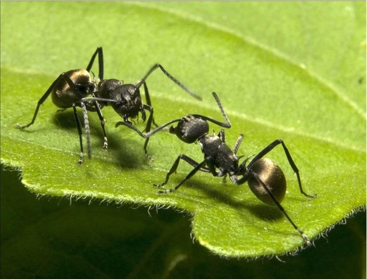 Tác dụng chữa xuất tinh sớm của kiến càng đen
