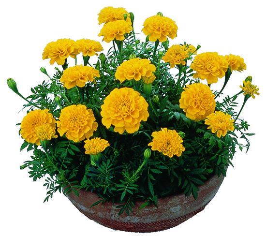Kết quả hình ảnh cho hoa vạn thọ