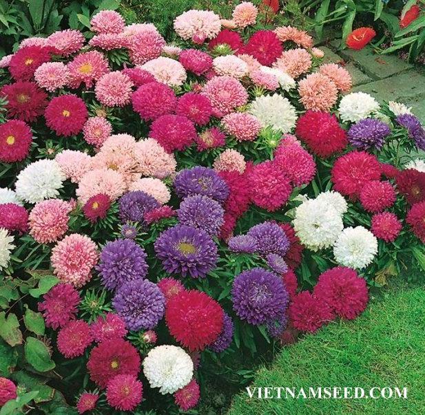 Hạt giống hoa Cúc tây Nhiều màu