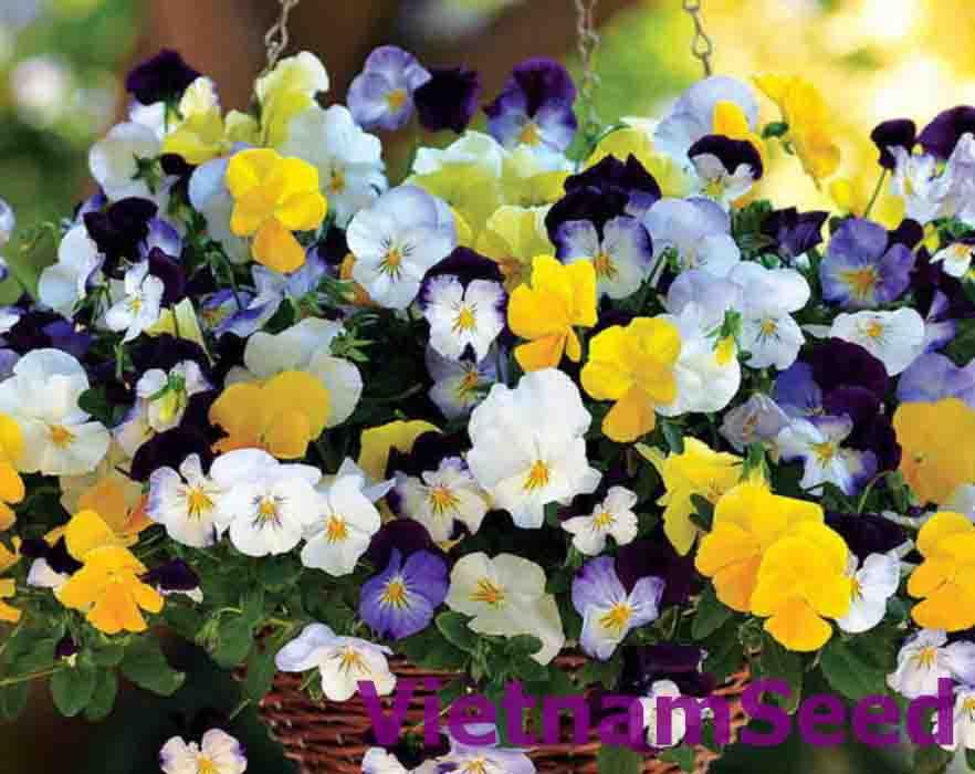 Hạt Giống Hoa Pansy (hoa bướm) Nhiều Màu