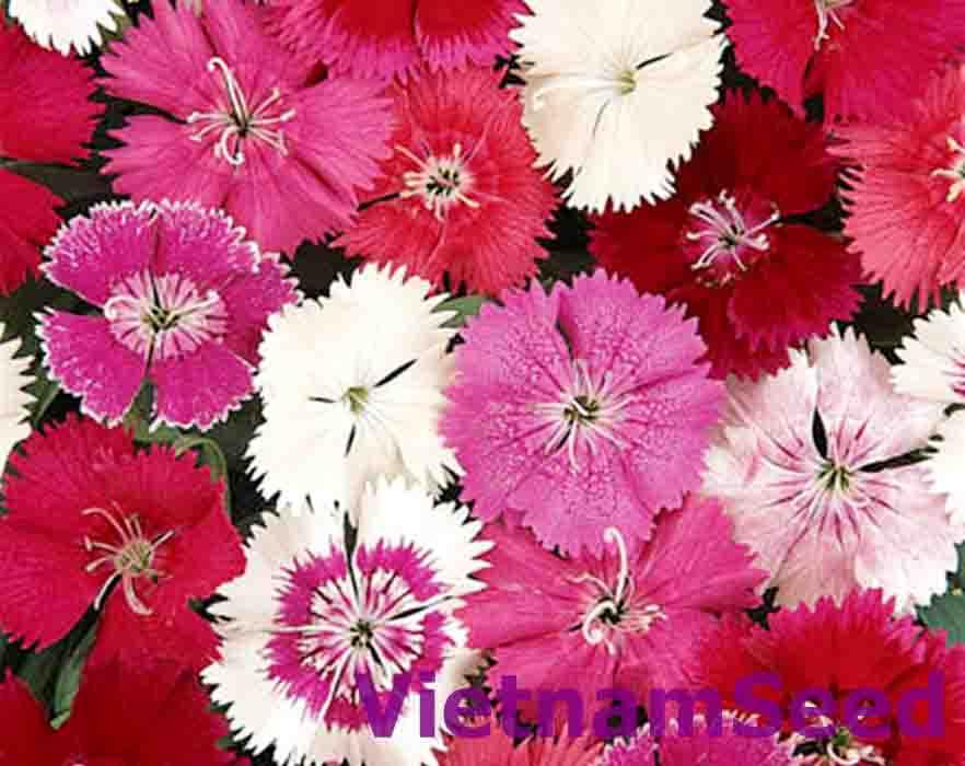 Hạt Giống Hoa Cẩm Chướng Nhiều Màu